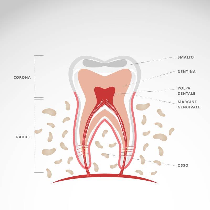 Ecco come sono fatti ti denti